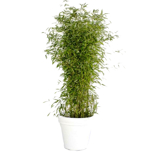 Bamboe in witte pot for Bamboe plant